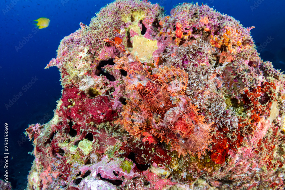 Camouflaged Bearded Scorpionfish on a coral reef