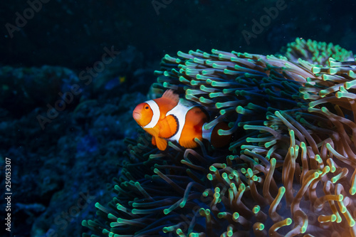 Tablou Canvas Beautiful Clownfish in their home anemone on a coral reef in the Andaman Sea