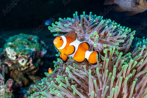 Staande foto Koraalriffen Beautiful Clownfish in their home anemone on a coral reef in the Andaman Sea