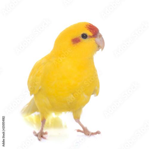Fotomural Red-fronted Kakariki Parakeet