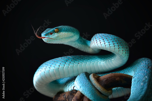 Blue Insularis Snake Wallpaper Mural