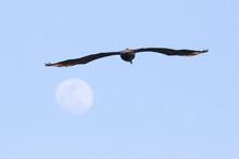 Bronw Pelican In Port Aransas ...