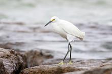 Snowy Egret Perched On A Rocks Sea, Port Aransas Texas