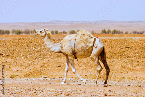 Poster Chameau Arabian or Dromedary Camel walking alone in the desert