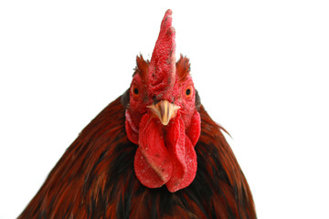 Head of a rooster closeup on a white background.