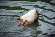 Funny Duck Butt, Upside Down A...