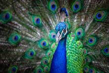 Closeup Portrait Of A Peacock ...