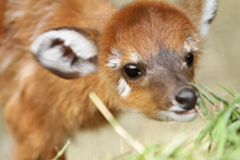 Little Sitatunga