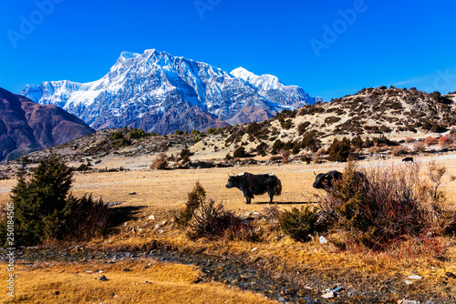 Fotografie, Obraz  Yak on the way on Annapurna Circle Trail - popular tourist track in Nepal - Anna