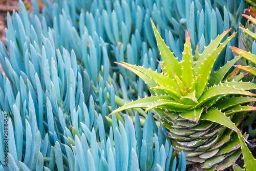 Aloe and Blue Chalk Sticks (Senecio serpens) plants - contrasting green floral background