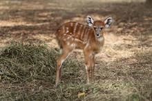 Cute Baby  Sitatunga Deer