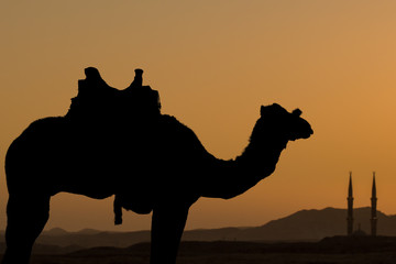 Silhouette dromedar camel on the background of the mountain of St. Moses, Egypt, Sinai