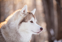 Beautiful, Cute And Free Siberian Husky Dog Sitting On The Snow Path In The Winter Forest At Sunset.