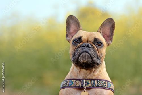 Fototapeta Fawn female French Bulldog dog head portrait on blurry yellow rapeseed field background obraz na płótnie