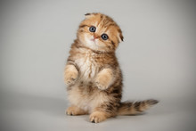 Scottish Fold Shorthair Cat On...