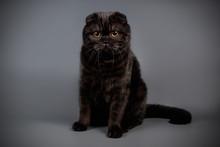 Scottish Fold Shorthair Cat On...