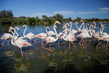 Pink Flamingoes In The National Park Of Camargue, Provence, France. Holidays In France.