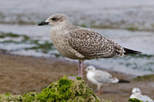 Young Seagull Standing On Algae Hill At Jurmala Beach