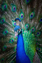 Peacock With Fanned Tail Looking Straight At Camera