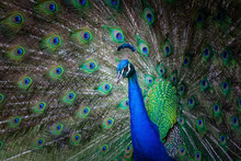 Peacock Portrait With Fanned Tail