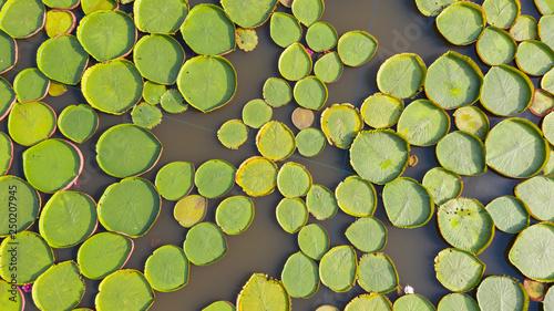 Montage in der Fensternische Rio de Janeiro Aerial photo top view of Victoria water lilies