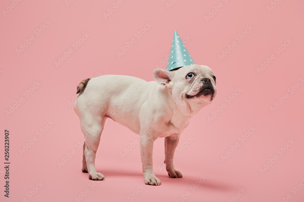 Fototapety, obrazy: french bulldog with dark nose with dark nose in blue birthday cap on pink background