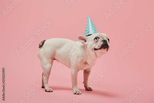 Keuken foto achterwand Franse bulldog french bulldog with dark nose with dark nose in blue birthday cap on pink background