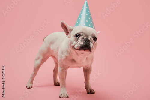 Staande foto Franse bulldog white french bulldog in blue birthday cap on pink background