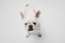 French Bulldog With Dark Nose Head Up On White Background