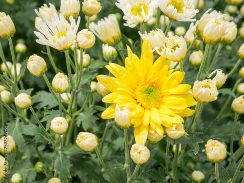Fotografiet  A beautiful yellow Chrysanthemum flower with garden view background