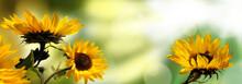 Sonnenblumen Hell