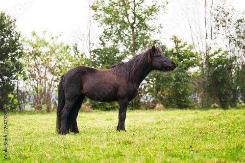 Black Icelandic horse in the field in summer