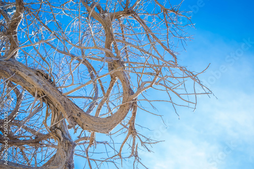 Photo  Sabina or sabine tree, against blue sky