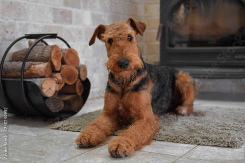 Airedale Terrier dog (1 Wallpaper Mural