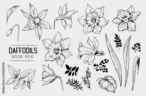 Photographie  Daffodils hand drawn sketch. Spring flowers. Vector illustration
