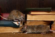 Close-up Two Rat (Rattus Norve...