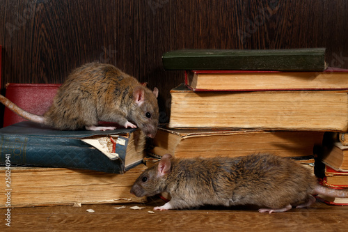 Foto Close-up two rat (Rattus norvegicus) climbs on old books on the flooring in the library