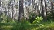 belle forêt résineuse feuillue