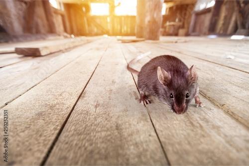 Fototapeta Gray mouse animal  on  background