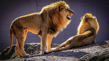 A Male African Lion Stands Nex...