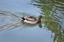 Adult Male Duck In River Or Lake Swimming In Water