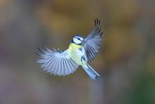 Blue Tit (Parus Caeruleus) In Flight, North Rhine-Westphalia, Germany, Europe