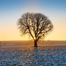 Sunrise In Winter, Horse Chestnut (Aesculus Hippocastanum) On Field With Rape (Brassica Napus) Winter Seed, Hoarfrost, Burgenlandkreis, Saxony-Anhalt, Germany, Europe