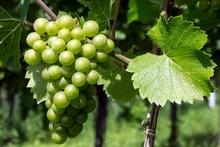 White Grapes, Grapes, Noble Grape Vine (Vitis Vinifera), Fruchtstand, Baden-Wurttemberg, Germany, Europe