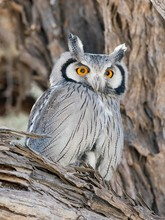 Portrait Of Southern White Faced Owl In Kgalagadi Transfrontier Park