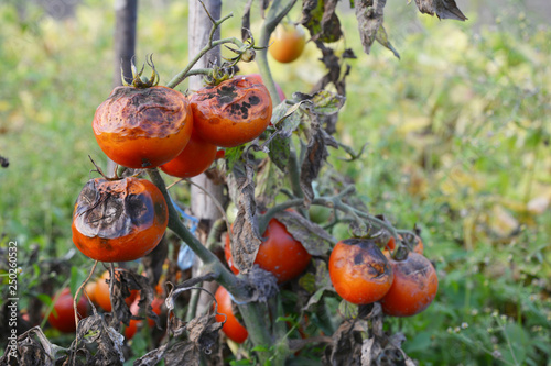 Photo Tomatoes get sick by late blight. Phytophthora infestans.