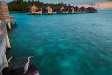 Grey Heron (Area Cinerea) At Sunset In Front Of Wooden Huts, Gangehi Island, Ari-Atoll, Maldives, Asia