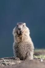 Alpine Marmot (Marmota Marmota), Standing Young Animal, Hohe Tauern National Park, Carinthia, Austria, Europe