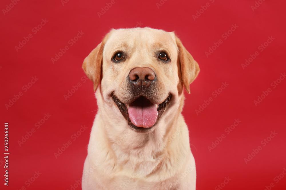 Fototapety, obrazy: Cute Labrador Retriever on color background