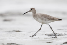 Willet Foraging On A Beach In Winter - Jekyll Island, Georgia